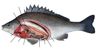 best images of perch gill diagram   perch fish internal anatomy    perch fish dissection anatomy