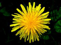 Image result for dandelion images