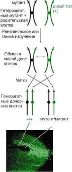 Митотический кроссинговер — Википедия