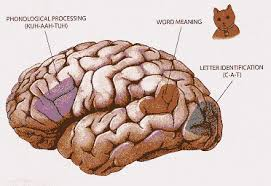 the brain essay   bid writing servicesthe brain essay