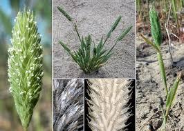 Phleum arenarium L. subsp. caesium H.Scholz - Portale sulla flora ...