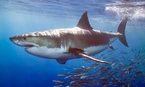Image result for great white shark