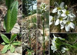 Arabis hirsuta (L.) Scop. - Sistema informativo sulla flora vascolare ...