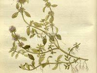 37 лучших изображений доски «'mint'»   Ботаника, Растения ...