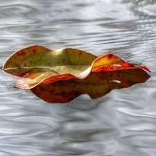 Image result for leaf on water