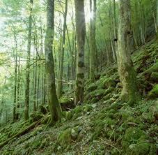 my german forest essay welt schlucht hangwald innerbreitenau bei molln