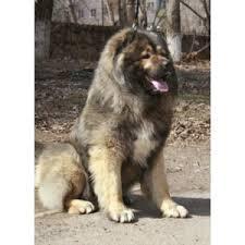 <b>Кавказская овчарка</b> - «О людях и собаках. Кто умнее ...