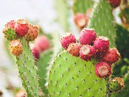 <b>Nopal Cactus</b>: Benefits, Uses, and More
