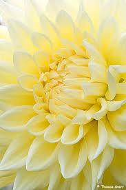 gardening Home - | <b>Георгины</b>, Цветы кактуса, Желтые цветы