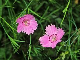 Dianthus seguieri - Wikipedia