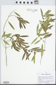 SEINet Portal Network - Phillyrea angustifolia