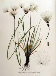 File:Eriophorum latifolium — Flora Batava — Volume v16.jpg ...