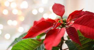 Fun Facts And Trivia About Poinsettias - The Christmas Plant