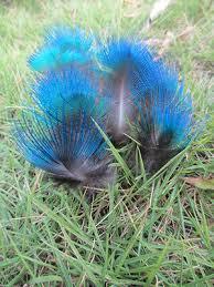 <b>Wholesale</b> 50-100 pcs <b>Rare natural peacock</b> blue sheet feathers 2-3 ...