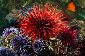 as sea stars die new worries about urchins