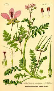 Erodium cicutarium - Wikipedia