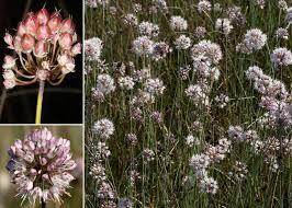 Allium suaveolens Jacq. - Portale sulla flora del basso corso del ...