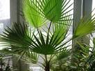 Пальма вашингтония как ухаживать в домашних условиях
