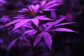 the sp of marijuana legalization explained vox purple marijuana plants