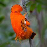 family cotingidae
