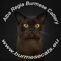 Alba Regia Ruby Joe - red <b>burmese kitten</b>