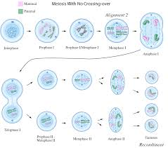 lab  mitosis  amp  meiosis simulations  t tests and chi squared tests    meiosis  recombinant  alignment