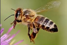 Αποτέλεσμα εικόνας για μέλισσες