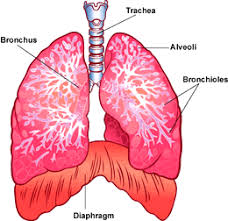 your lungs  amp  respiratory systema look inside the lungs  lungs diagram