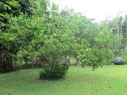 lemon tree x: my meyer lemon in the front yard
