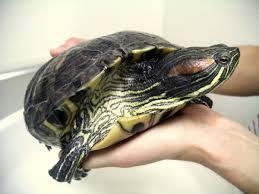 Resultado de imagem para aquario para tartaruga