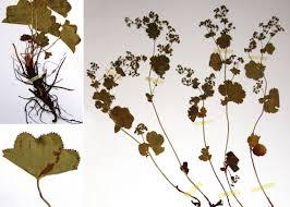 Alchemilla reniformis Buser - Portale alla flora del Parco Nazionale ...