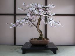 cherry bonsai trees bought bonsai tree
