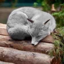 ~fox: лучшие изображения (330) в 2017 г. | Лисы, Дикие ...