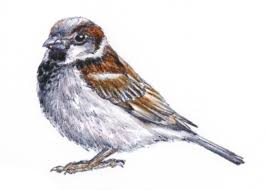 How to get rid of <b>sparrows</b> on your property | Rentokil Steritech