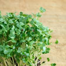 garden cress also called broadleaf cress and other cresses curly garden cress also called broadleaf cress and other cresses curly cress and watercress