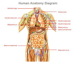 human anatomy   charts   diagrams   graphshuman anatomy diagram