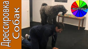 Обалдеть... Какие Трюки Показывает Собака <b>Керри блю терьер</b> ...
