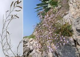 Limonium virgatum (Willd.) Fourr. - FVG