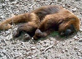 Resultado de imagem para macaco febre amarela