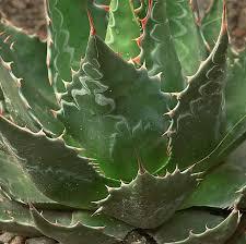 Agave titanota della famiglia delle Agavacee | Cactus - Piante ...