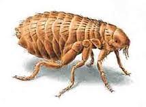 Resultado de imagem para foto de pulgas
