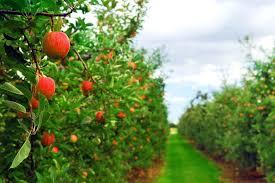 Znalezione obrazy dla zapytania obrazki jablka