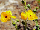 Images & Illustrations of family Papaveraceae