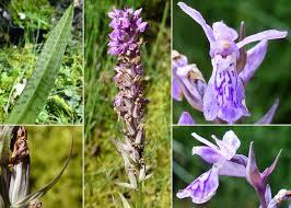 Dactylorhiza traunsteineri (Saut. ex Rchb.) Soó - Sistema informativo ...