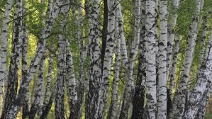 Image result for birch trees