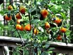 Images & Illustrations of bitter orange tree