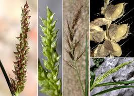 Echinochloa crus-galli (L.) P.Beauv. - Portale sulla flora del basso ...