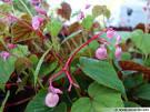 Bgonia vivace - comment et o le planter? Les infos avec