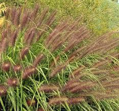 Pennisetum alopecuroides '<b>Red Head</b>' (Fountain Grass)