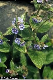 Plants Profile for Pentaglottis sempervirens (evergreen bugloss)